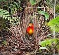 Flame Bower Bird (Sericulus ardens) (48842332516).jpg