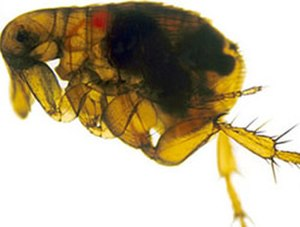 Yersinia pestis - Oriental rat flea (Xenopsylla cheopis) infected with the Y. pestis bacterium which appears as a dark mass in the gut: The foregut (proventriculus) of this flea is blocked by a Y. pestis biofilm; when the flea attempts to feed on an uninfected host, Y. pestis is regurgitated into the wound, causing infection.