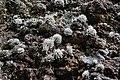 Flechten auf Vulkangestein zwischen der Hochebene Paul da Serra und Fanal.jpg