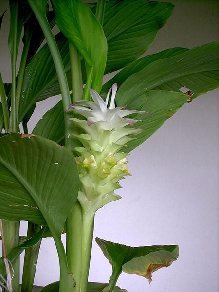 la fleur du curcuma réunionnais