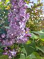 Fleurs de lilas mauve à Grez-Doiceau 001.jpg