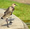 Flickr - Dario Sanches - QUERO-QUERO (Vanellus chilensis) (3).jpg
