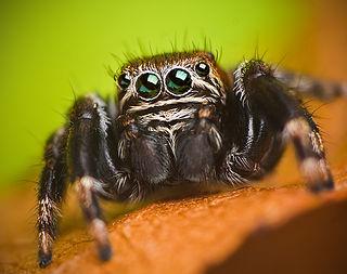 Plexippini Tribe of Salticidae spiders
