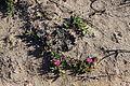 Flickr - brewbooks - Carpobrotus rossii (Ice plant).jpg