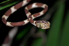 Flickr - ggallice - Bluntheaded tree snake.jpg