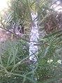 Flora in Dera Ghazi Khan District 01.jpg