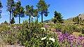 Flores de jara en la Sierra.jpg