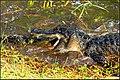 Florida alligator (8511766236).jpg