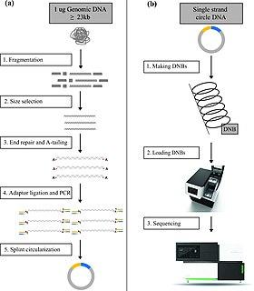 DNA nanoball sequencing