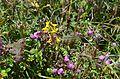 Flower 6 @ Langtang National Park.jpg