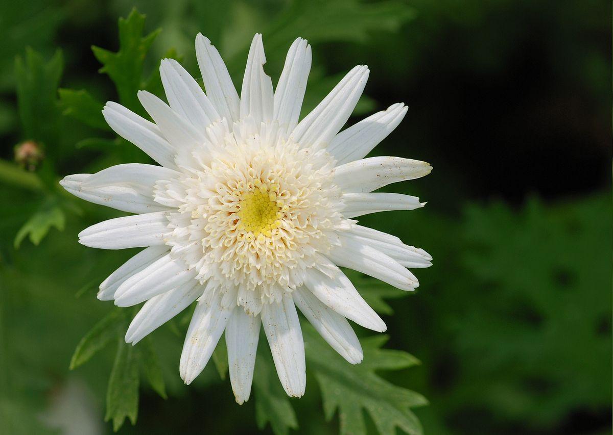 Argyranthemum frutescens - Wikipedia