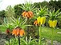 Flowers - (PL) Szachownica cesarska (Cesarska korona) (17005202087).jpg