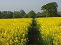 Footpath through oil-seed rape, Ruscombe - geograph.org.uk - 799214.jpg