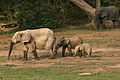 Forest elephant group 5 (6841414464).jpg
