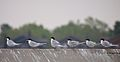 Forster's Terns at Crown Beach.jpg