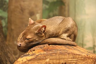 Fossa are active both day and night (cathemeral). Fossa 085.jpg
