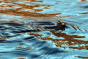 Anableps anableps - at Caroni Swamp, Trinidad