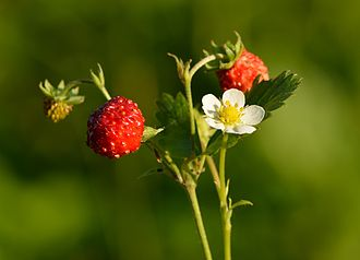Fragaria vesca - Wild strawberry in Estonia, Pakri Peninsula.