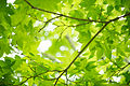 Fresh green maple leaves (7185025589).jpg