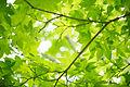Fresh green maple leaves (7185025589).jpg