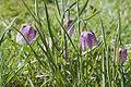 Fritillaria meleagris Slatina2.jpg