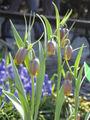 Fritillaria uva-vulpis 02.jpg