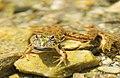 Frog in habitat.jpg