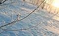 Frost Tips (3266719826).jpg