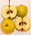 Fruit et pépins du Boquettier, Pommier sauvage ou Pommier des bois Malus sylvestris ERNOUF Guillaume.jpg