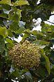 Fruits - Tectona Grandis - Hijli - West Midnapore 2015-09-28 4150.JPG