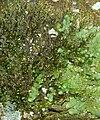 Frullania dilatata Radula complanata 140108.jpg