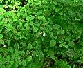 Fuchsia microphylla ssp hidalgensis 2.jpg