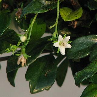 <i>Carmona</i> (plant) genus of plants
