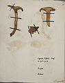 Fungi agaricus seriesI 034.jpg