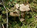 Funnel chanterelles mushroom in grass.jpg
