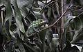 Furcifer pardalis sur une branche.jpg