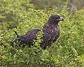 Galapagos Hawk (Buteo galapagoensis) (20330838788).jpg