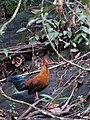 Gallus lafayetii -Sinharaja Forest Reserve, Sri Lanka-8b.jpg