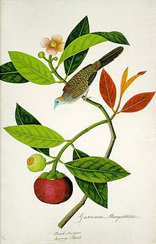 Garcinia Mangostana; Booah Mangies; Boorong Merbo (William Farquhar Collection, 1819–1823).jpg