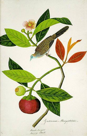 William Farquhar - A watercolour drawing of a zebra dove (Geopelia striata) perched on a purple mangosteen tree (Garcinia mangostana), from the William Farquhar collection of natural history drawings
