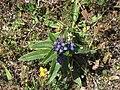 Gentiana cruciata - Krsnata lincura.jpg