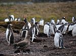 Gentoo Penguin calls out as a Brown Skua stalks the colony (5751598680).jpg