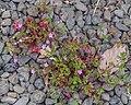 Geranium robertianum in Waioeka Gorge SR 01.jpg