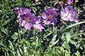 Geranium wallichianum Buxton's Blue Geranium ლურჯი ნემსიწვერა.JPG