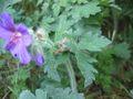 Geranium x magnificum blatt.jpeg