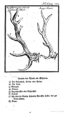 Schema dei palchi del cervo: (2) rosetta, (4) stanga, (5) oculare, (6) ago, (7) mediano, (8) corona (nel caso di due sole punte si parla di rosa).
