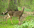 Gfp-white-tailed-deer.jpg