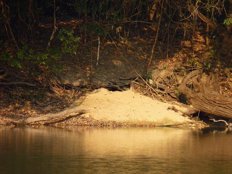 Giant Otter Den