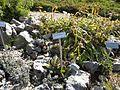 Giardino botanico alpino Viote - Leontopodium.jpg