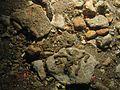 Gibbula sp. WBRF CEND0313 ADDGT12 STN 193 A1 038.jpg